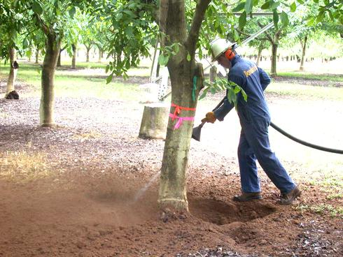 Using compressed air to remove soil away from the crown of a tree, in preparation for treating crown galls.