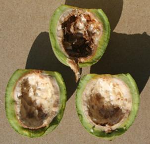 Immature walnuts