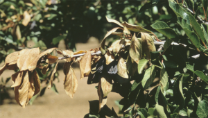 Blue prune and leaf scorch symptoms showing damaged fruit, scorched leaves and darkened leaf veins.