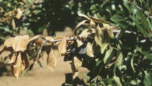 Blue prune & associated leaf scorch symptoms.