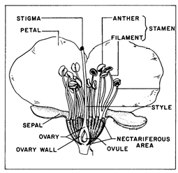 Cross-section of a prune flower, showing different flower parts.