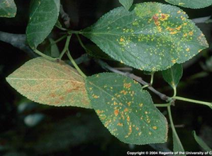Symptoms of leaf rust on prune.