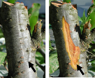The lower margin of a Cytospora canker is detected as a sunken area on the branch where bark has been killed.