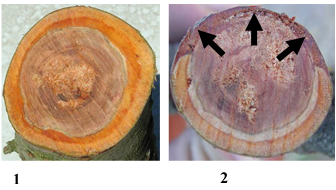 Figure 4. Good cut (1) made below canker margin showing only clean bark. Bad cut (2) not far enough down the limb showing diseased bark (arrows) and canker still remaining in the tree.