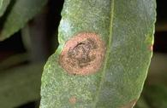 Alternaria leaf spot.