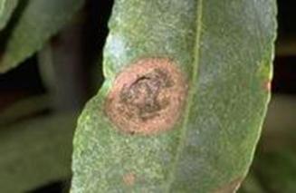 Alternaria leaf spot.