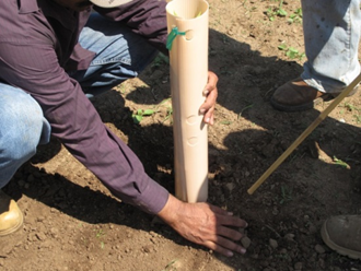 Placing a grow tube and bamboo stake over the rootstock.