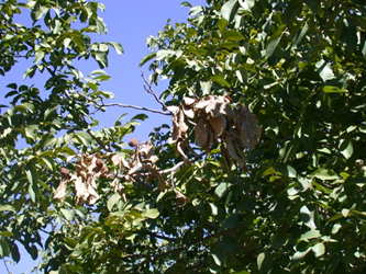 Photo 1. First symptom: sudden leaf browning of the outermost branches. Photo: J. Hasey.