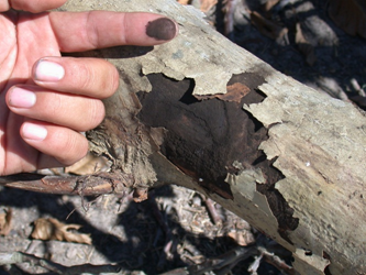 Outer peeling bark and black sooty spores.