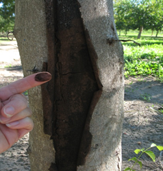 Branch wilt can extend into trunk if left unchecked for several years.