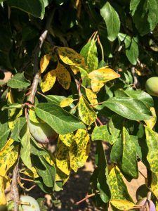 Photo 1. Yellowing prune leaves. Photo: F. Niederholzer