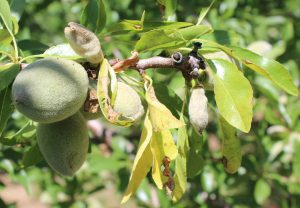 Flagging leaves and developing anthracnose lesions on Price almonds. Photo: J. Connell.