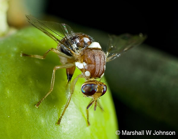 Olive fruit fly