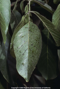 Sooty mold on walnut leaves following an infestation of aphids. Photo: UC ANR.