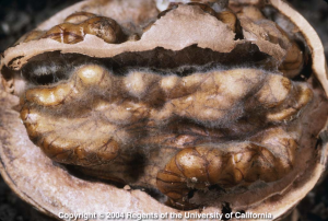 Moldy walnut kernel. Photo: UC ANR.