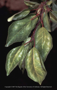 Potassium deficiency symptoms in prune. Photo: UC ANR.