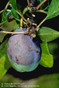 Premature fruit coloring and gumming from a brown rot infection. Photo: UC Statewide IPM Project.