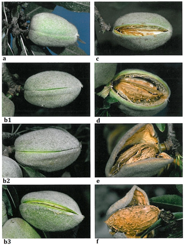 Figure 1: Stages of hull split. a. unsplit hull; b1. initial separation; b2. deep V split; b3. deep V split, but nut pops when squeezed; c. split, but less than 1 cm; d. split, more than 1 cm; e. initial drying stages; f. completely dry