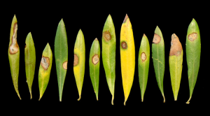Leaf spotting associated with Neofabraea on Arbosana olives. Photo credit: F. Trouillas.