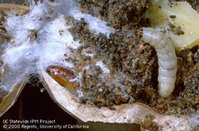 Navel orangeworm larva and pupa.