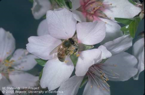 Honeybee on an almond flower.