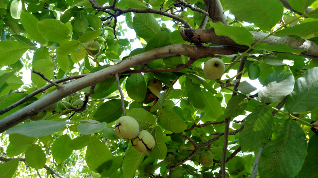Walnut branch showing oilless and unaffected walnuts.