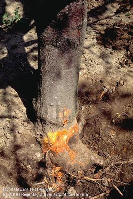 Crown Rot on an Almond Tree.