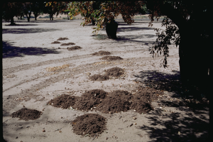 Whichever method of control you choose, you're going to have to do something about those gopher mounds! Photo credit: UC Statewide IPM Program.
