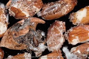 Naval orangeworm damage in almonds.