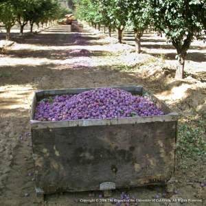 Harvested prunes.