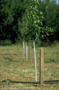 New prune tree planting.