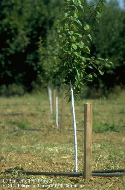 Newly planted prune trees.