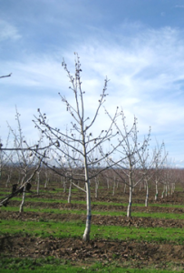 An unpruned tree at the end of the third growing season. Note short shoot growth on primary branches.