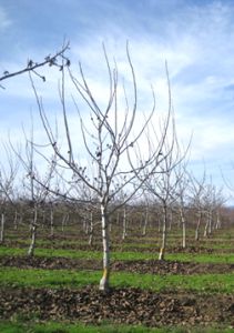 A minimum pruned tree at the end of the third growing season.