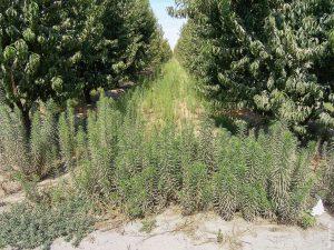 Glyphosate resistant horseweed