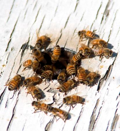 Honeybees enter and exit a bee box.
