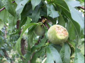 Walnut with hail damage. Photo (c) J. Hasey 2016.