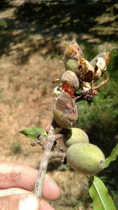 Anthracnose infection on developing almonds.