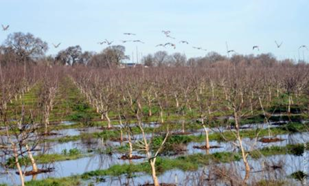 Flooded walnut orchard after winter rains.