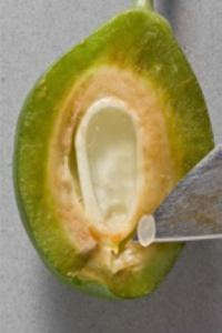 Figure 1. Extraction of the endosperm on a developing prune