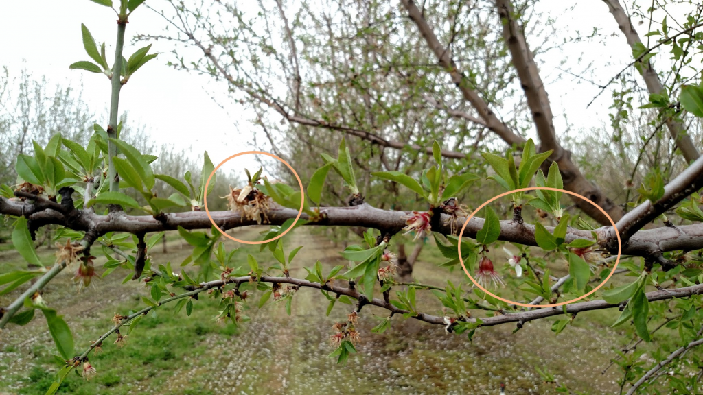 Blast symptoms (left circle) and unaffected flowers (right circle) on a Nonpareil branch.