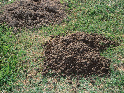 Photo 1. Gopher mounding with characteristic crescent shape on the right side. Photo credit: Jack Kelly Clark, UC Statewide IPM Program