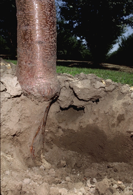 Photo 2. Bark removed from the crown of an almond tree as a result of gopher feeding. The gopher tunnel can be seen just to the right of the trunk.