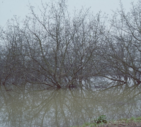 In the 1986 flood, some walnuts were flooded for 45 days.