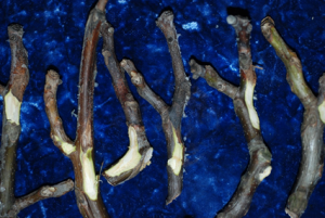 Photo 1: Spurs killed by Bot or Phomopsis. These will be evident during leaf-out. Photo by Themis Michailides