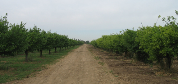 Two prune orchards, farmed by the same operation. The orchard on the right is irrigated with high bicarbonate water.