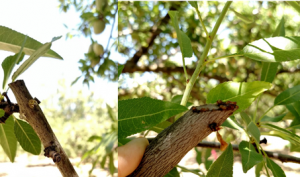 Clear and amber gumming on these pruning wounds indicate that infection may be beginning.
