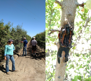 Hedgerow almonds (left) are kept short - these 5th leaf trees are between 6 and 7 feet tall. Harvest damage (right) from prior harvests were frequently encountered.