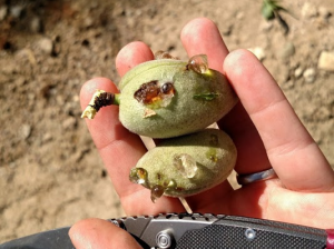 Boron deficiency symptoms on Winters almonds.