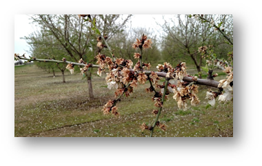 Trees rated with severe symptoms had a substantial majority of branches with clusters of blasted flowers.